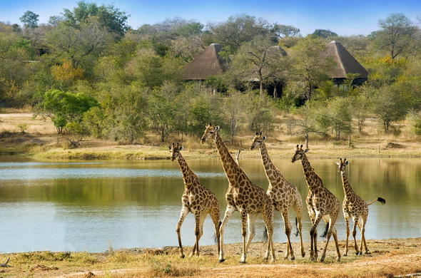 Giraffes spotted adjacent the lodge.