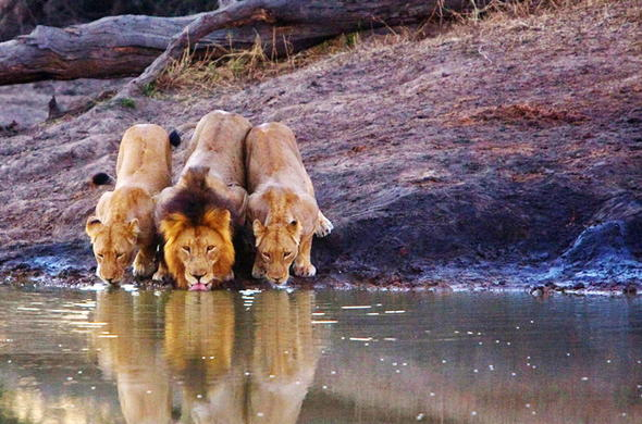 Lions are among the wildlife of Klaserie Private Nature Reserve.