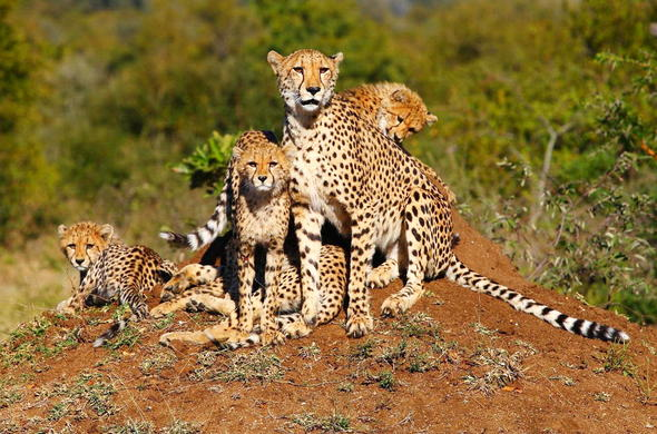 Cheetah mother and cubs sighting in Timbavati Private Game Reserve.