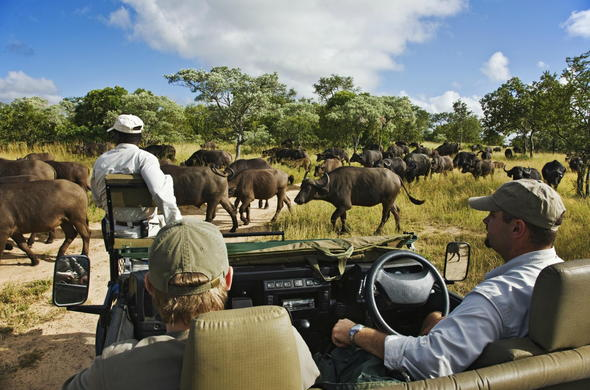 Observe buffalo crossing the road in Timbavati Private Game Reserve.