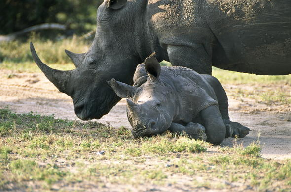 Rhino and calf playing in the African wilderness.