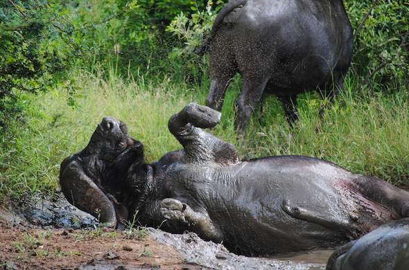 Observe buffalo playing in the mud in Sabi Sands Game Reserve.