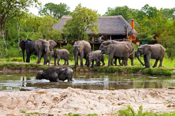 Herd of elephant spotted in front of Simbambili Game Lodge.