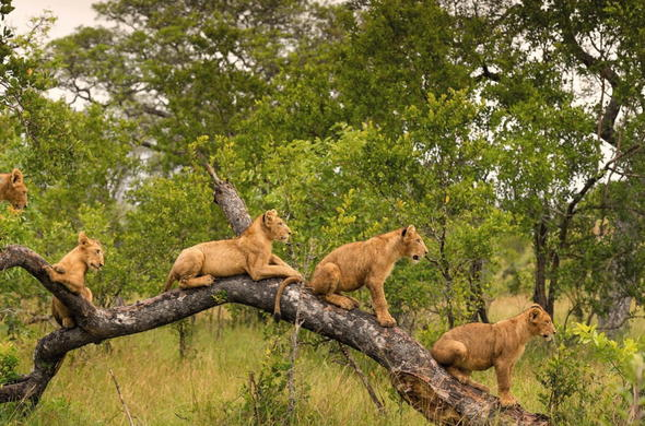 Lion cubs playing in a tree.